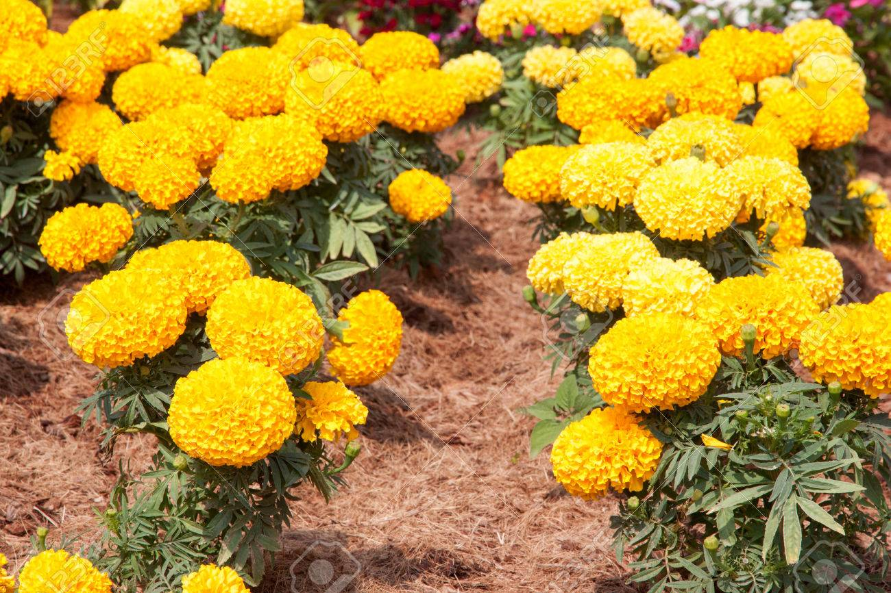 Marigold Yellow Color In Many Flowers Plant Stock Photo Picture