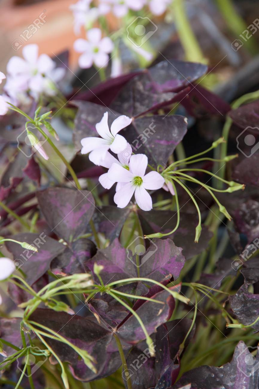 Indian park white flowers purple leaves of oxalis triangularis indian park white flowers purple leaves of oxalis triangularis stock photo 78582761 mightylinksfo
