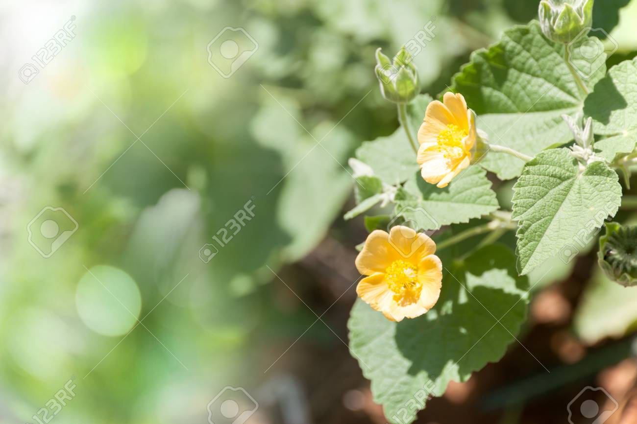 Small Yellow Color Flowers And Green Leaves Of Weed In Garden