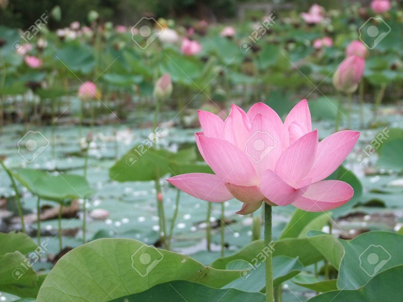 Pink Blossom Lotus Flower In Thailand Stock Photo Picture And