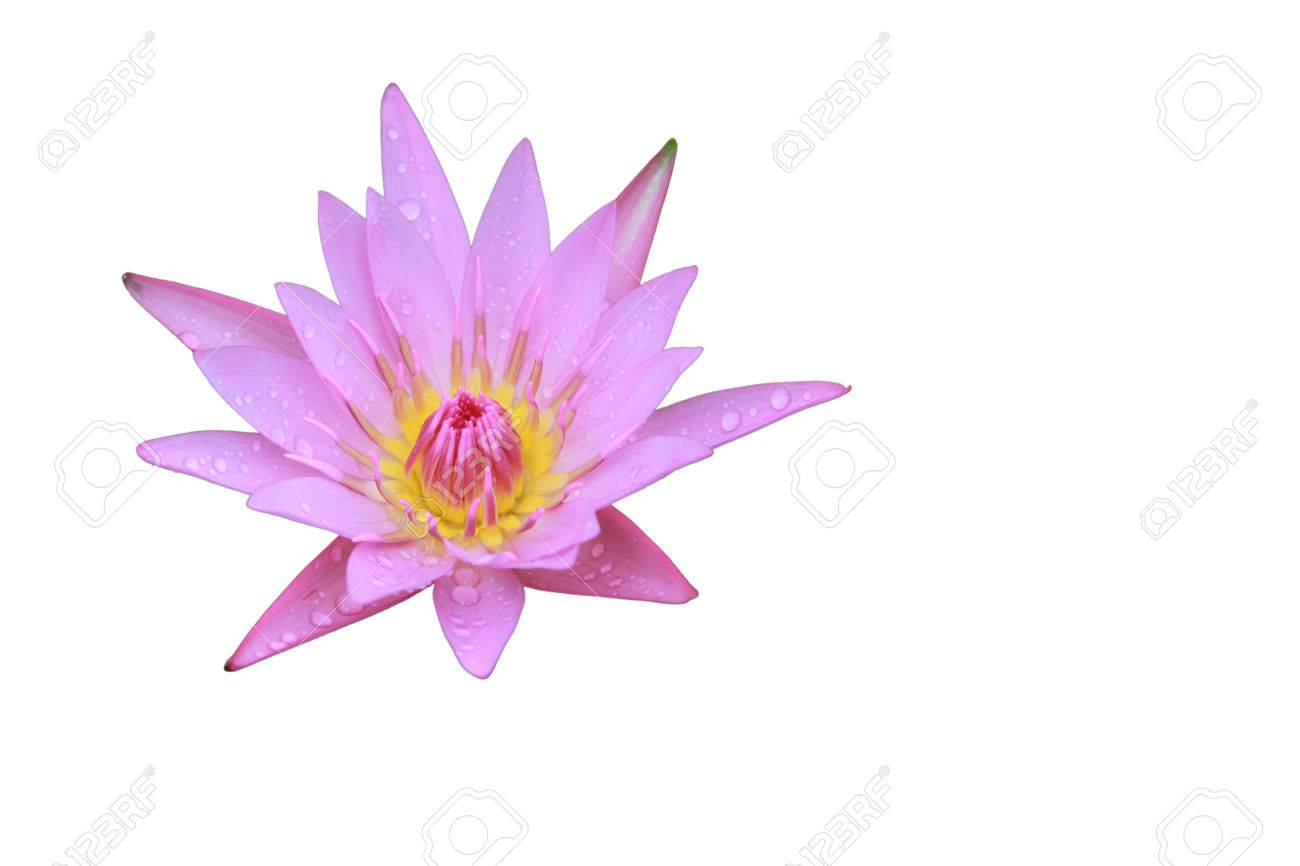 Pink lotus flower top side view has some drop water on the petal pink lotus flower top side view has some drop water on the petal isolated on izmirmasajfo Images