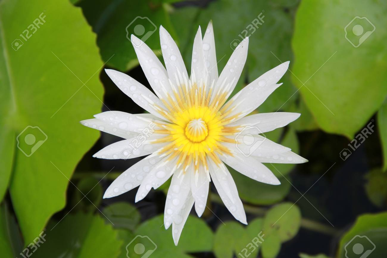 Bright white lotus flower top view in the pool has some drop water bright white lotus flower top view in the pool has some drop water on the petal mightylinksfo