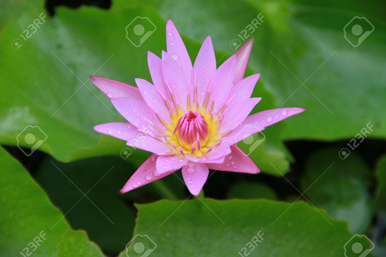 Pink lotus flower top side view in the pool has some drop water pink lotus flower top side view in the pool has some drop water on the petal mightylinksfo