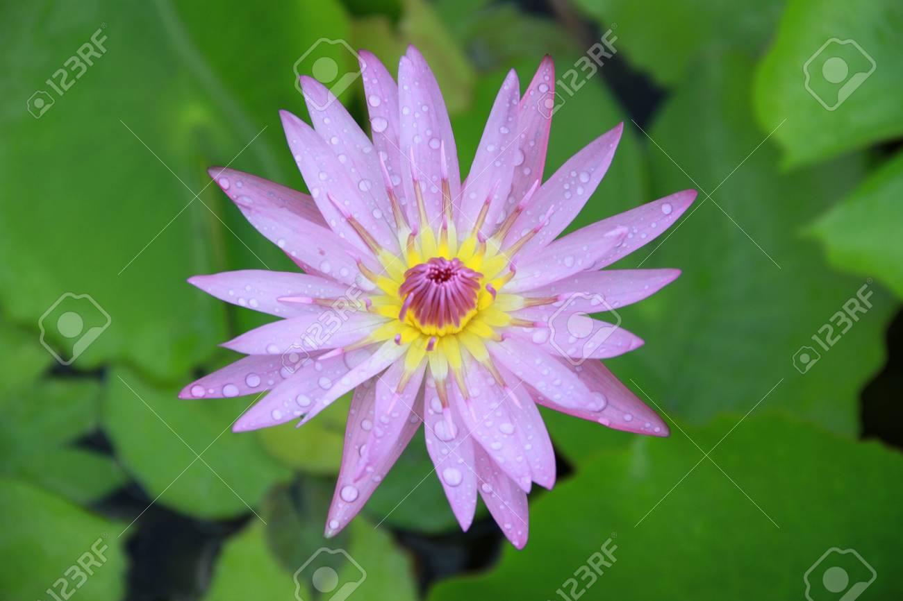 Purple lotus flower top view in the pool has some drop water on the purple lotus flower top view in the pool has some drop water on the petal mightylinksfo