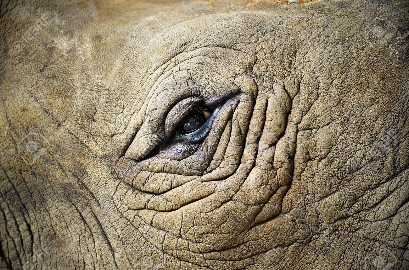 Rhino の目を閉じます。ゾウ目 (...