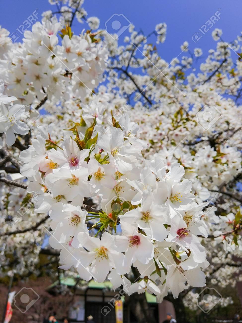 Beautiful Sakura Flowers In Japan Selective Focus And Close Stock