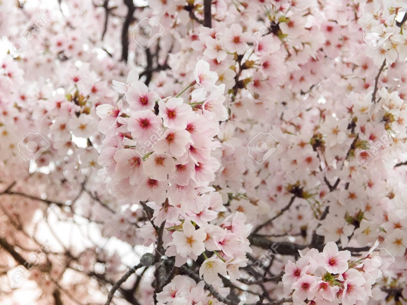 Beautiful Sakura Flowers In Japan Selective Focus Stock Photo