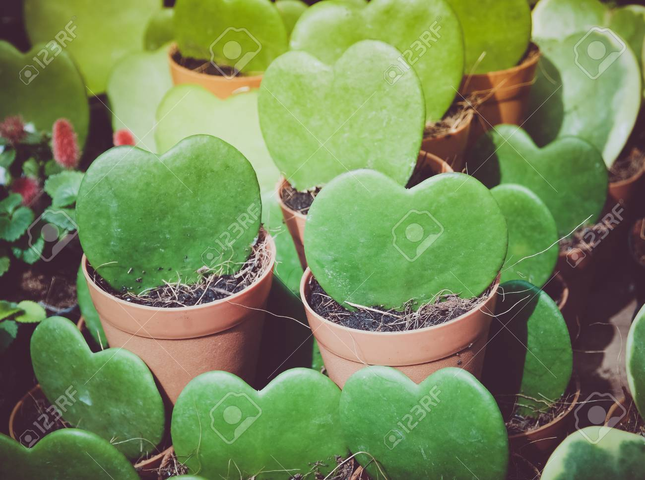 Kerrii Hoya Heart Shaped Plant In Pot This Tree For Valentines