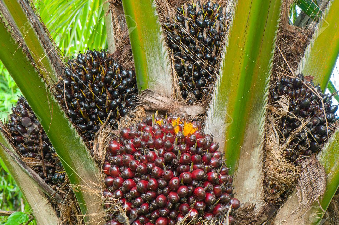 Image result for palm oil tree