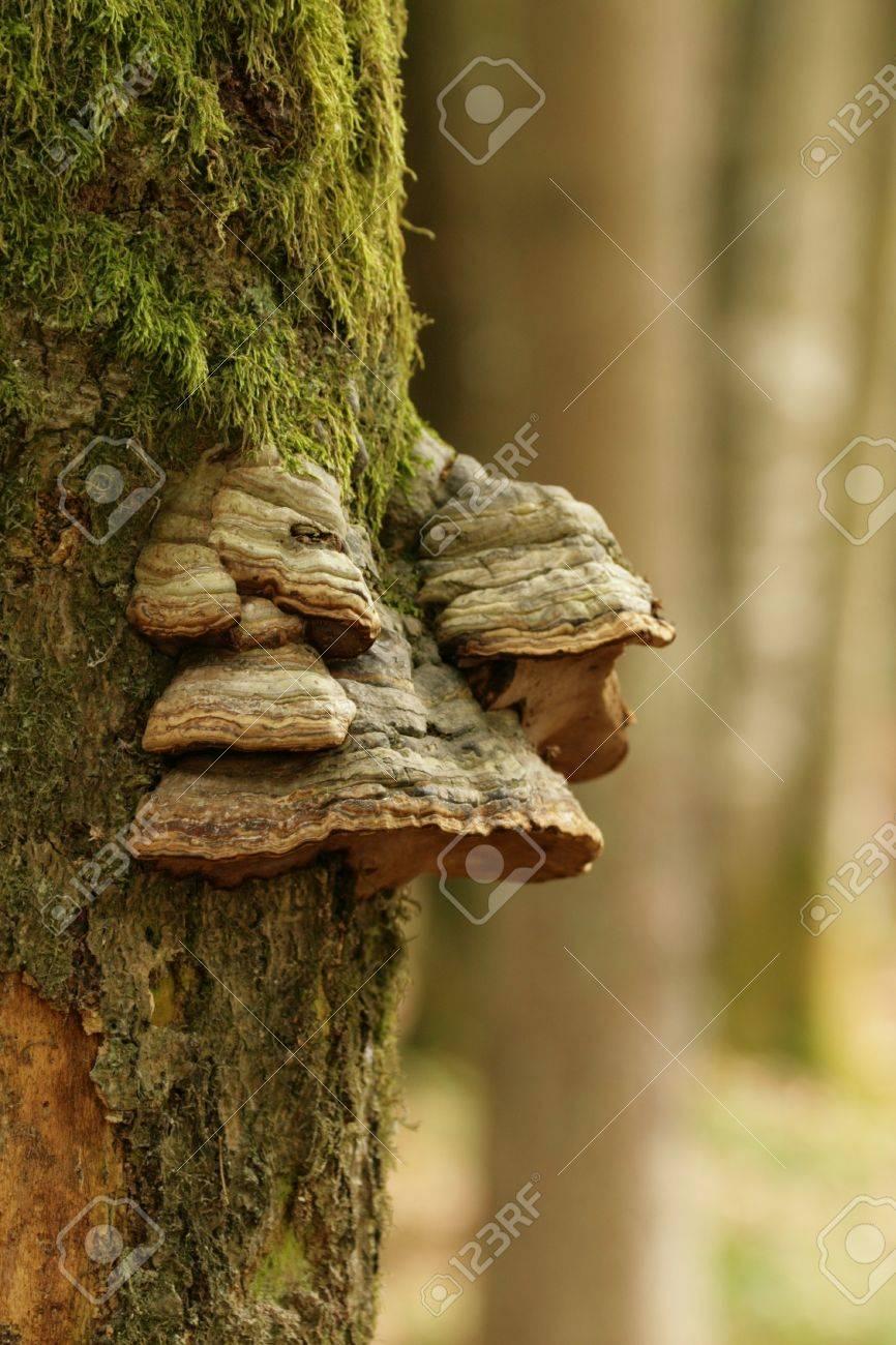 tinder fungus Stock Photo - 22128383