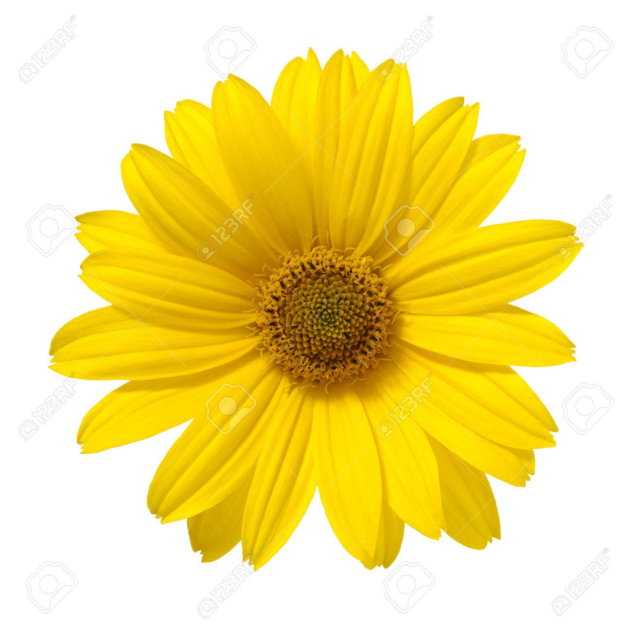 Yellow Daisy Flower Isolated On White Background Stock Photo