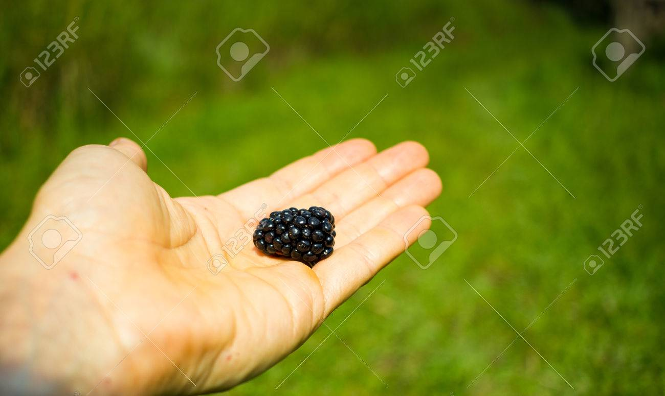 Hand holding one big beautiful blackberry with green background