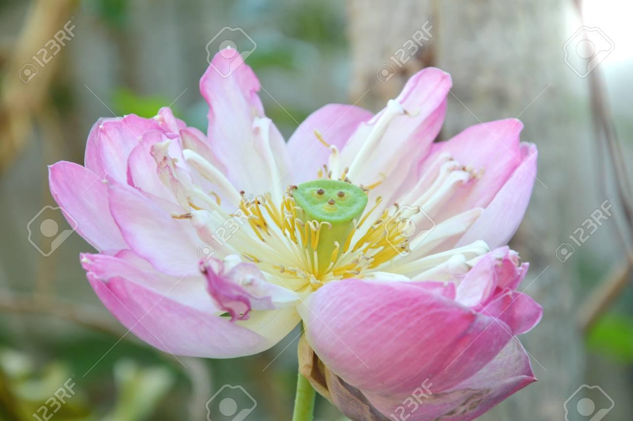 Heilige Lotoslilien Wasserblume Die Im Garten Blüht Lizenzfreie