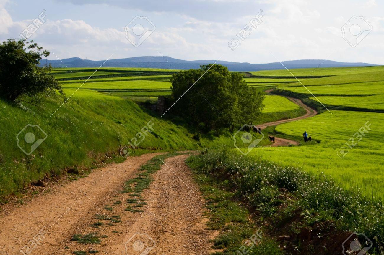 champs de blé vert Banque d'images - 11386011