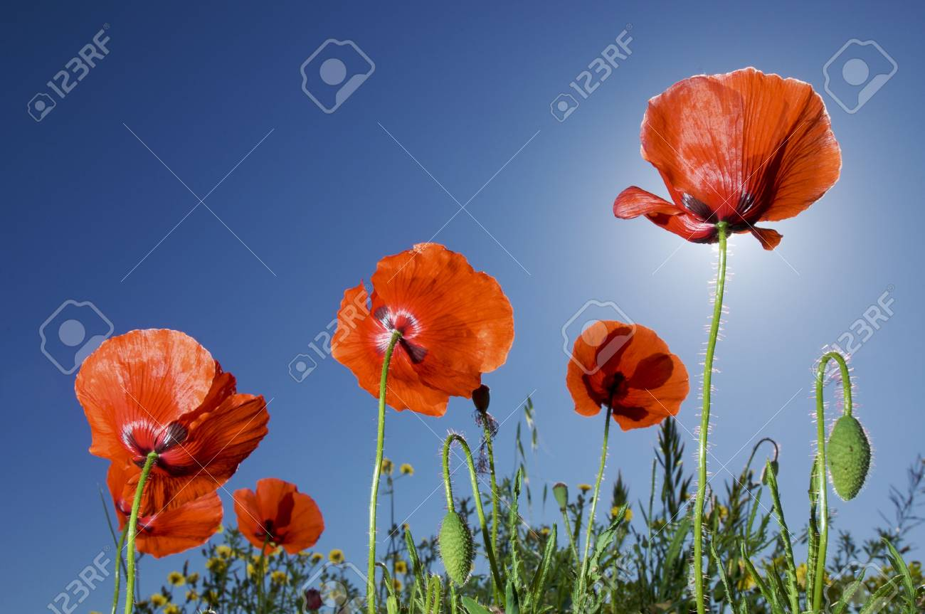 group of poppies with blue sky Stock Photo - 5930853
