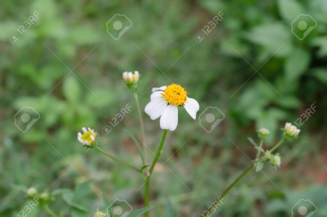 Little White Flower With Yellow Pollen Showing Her Beautylittle