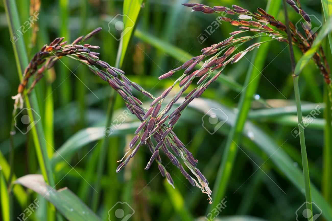 Rice and rice spike - 47491563