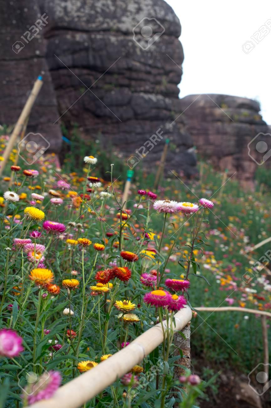 Straw flower field - 52720246