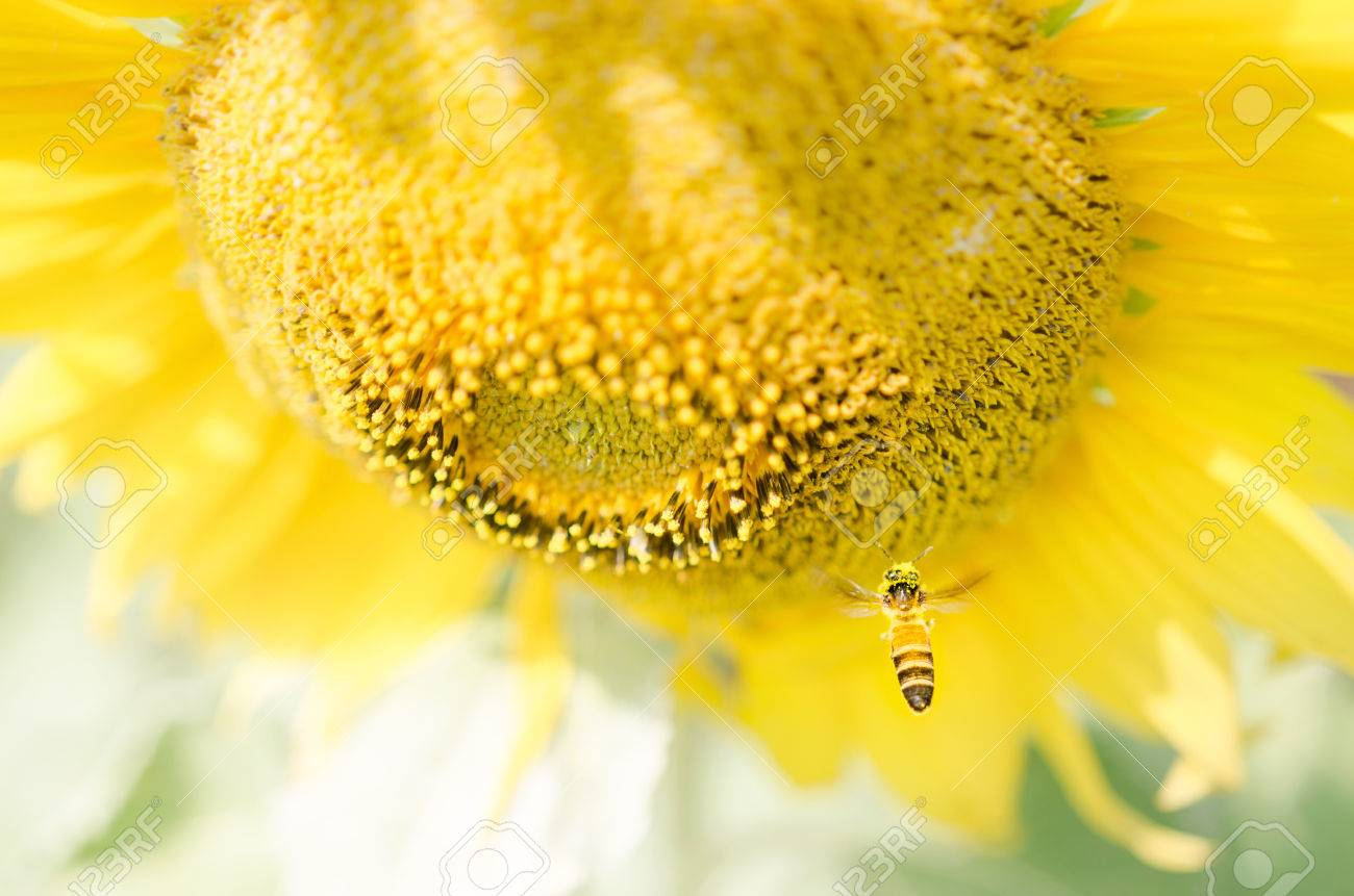Sunflower bee Stock Photo - 24914794