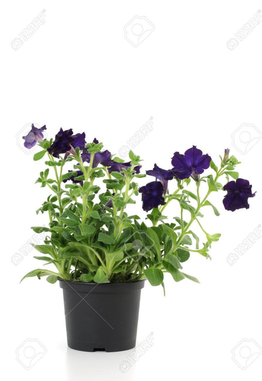 Young dark blue petunia isolated on white Stock Photo - 6633620