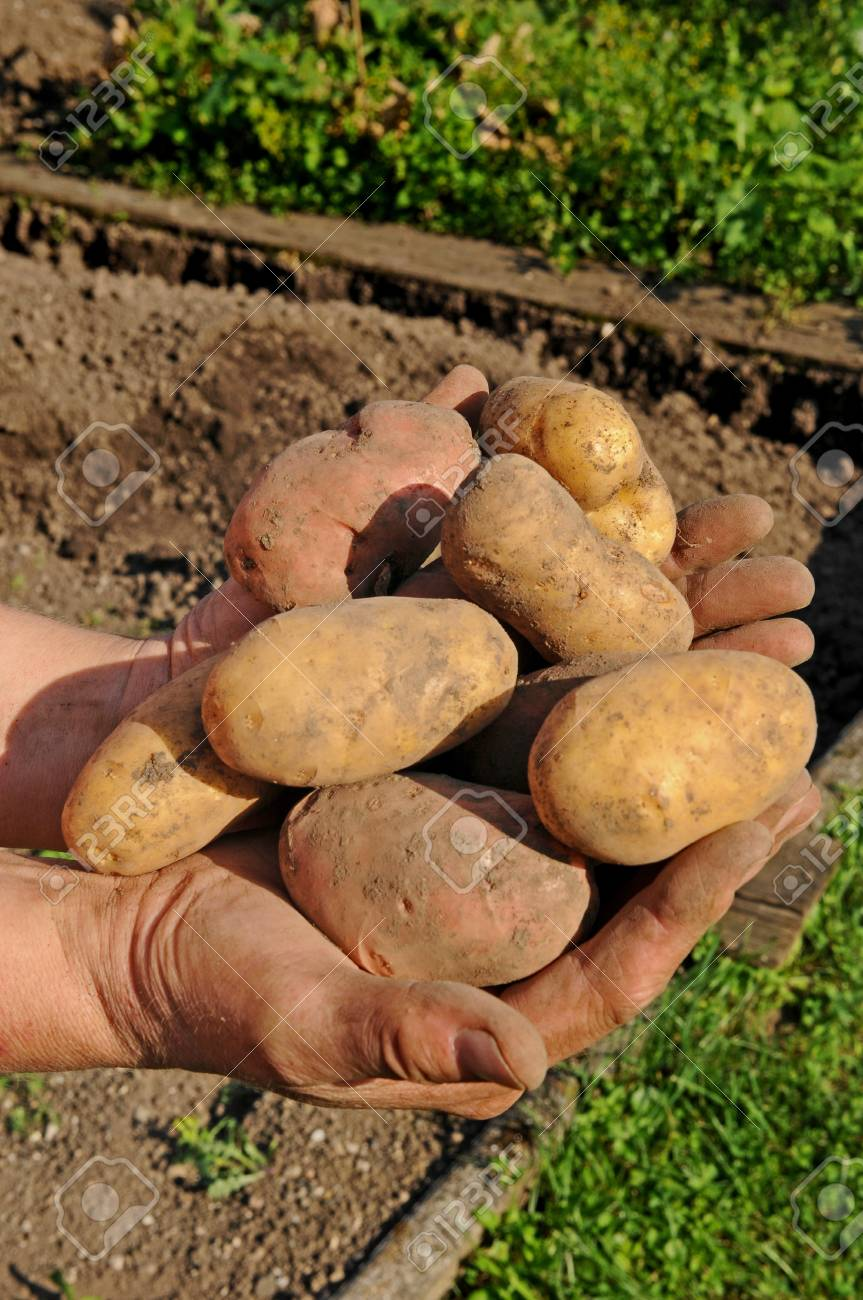 Potato Lifting In The Kitchen Garden Stock Photo, Picture And ...