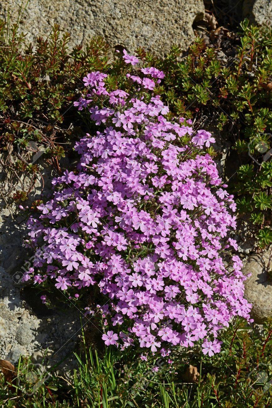 Aubrieta Ist Einer Der Bekanntesten Blumen In In Steingarten ...