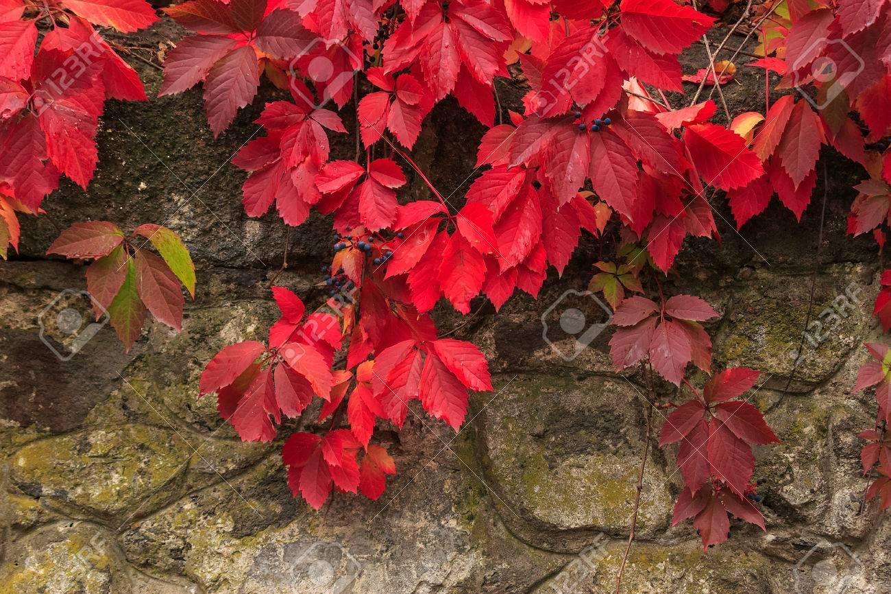 Klimplant met rode bladeren en blauwe bessen in de herfst op de ...