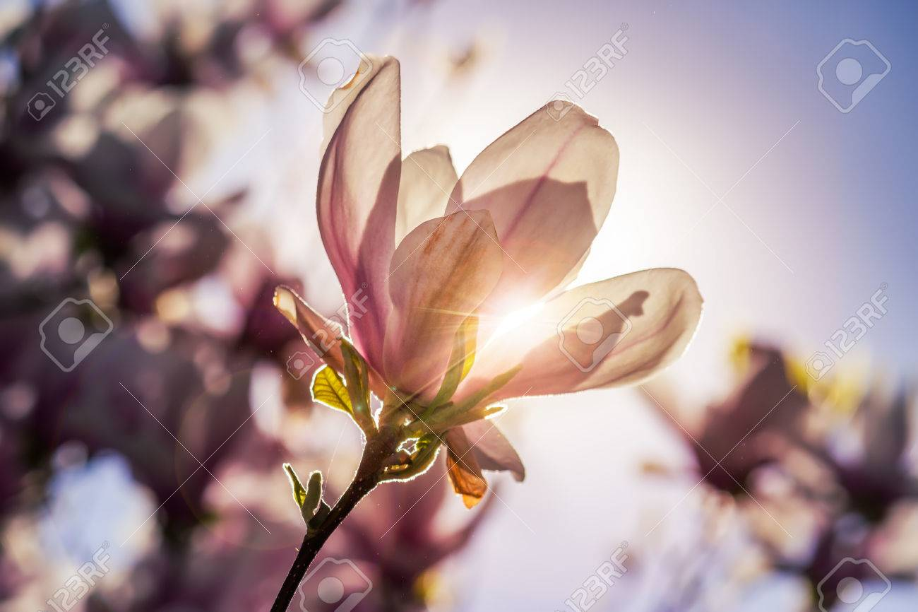 Closeup Soft Pink Magnolia Flowers Outdoors Stock Photo 372922858 ...