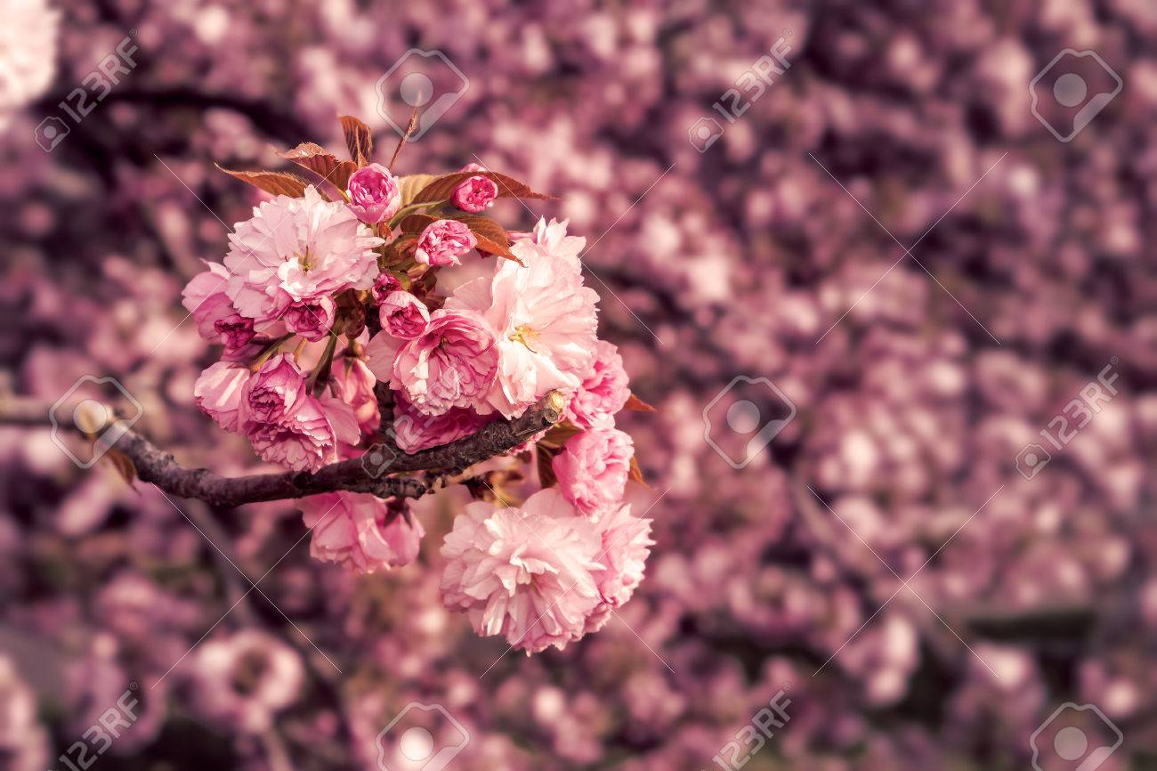 Marsala Toned Delicate Pink Flowers Blossomed Japanese Cherry