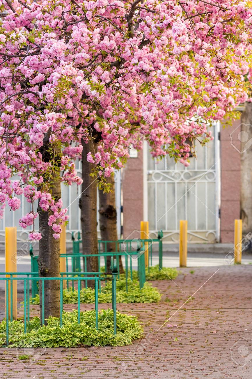 Delicate Pink Flowers Blossomed Japanese Cherry Trees On Street