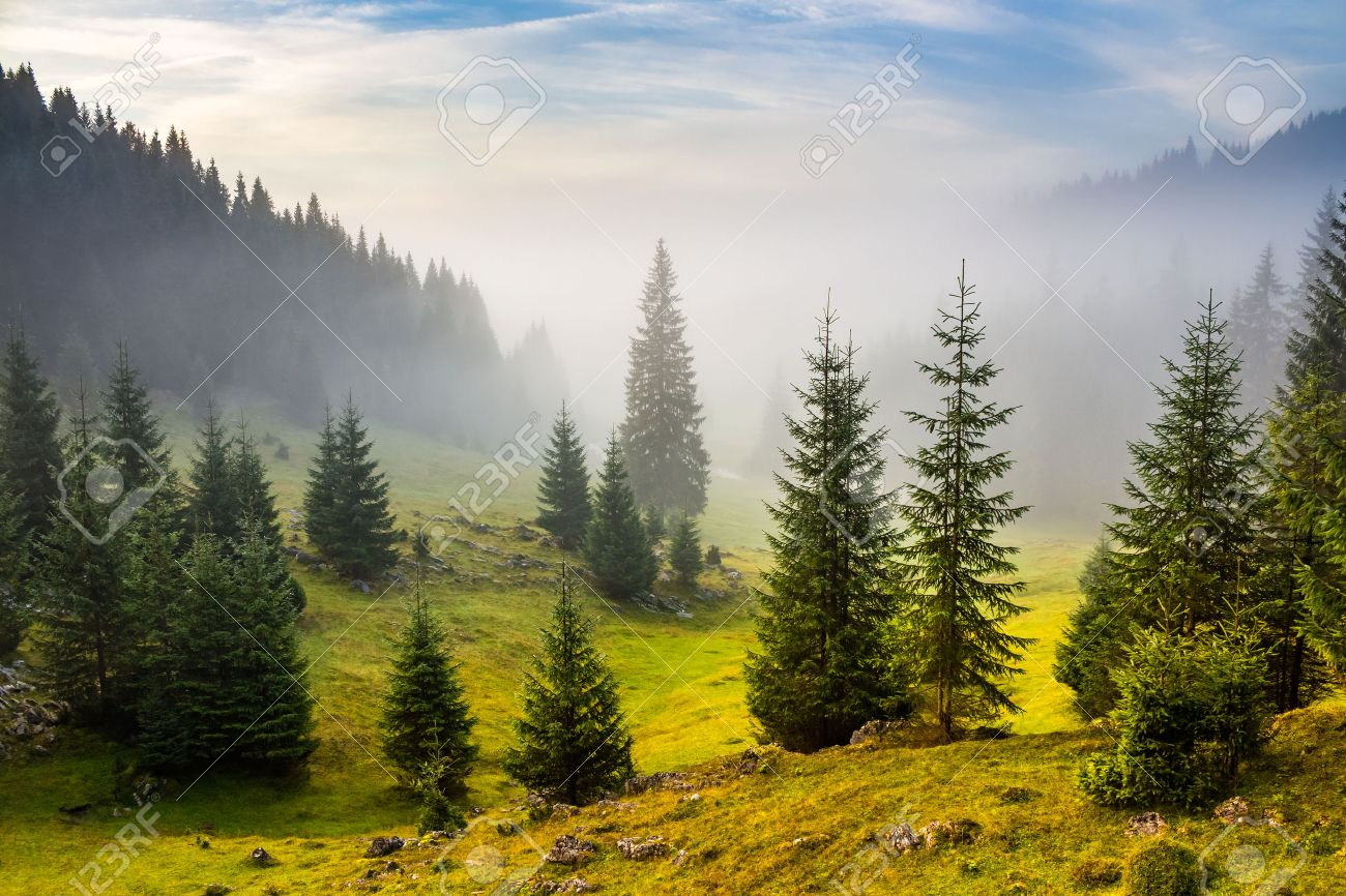 fir trees on meadow between hillsides with conifer forest in fog under the blue sky before sunrise - 47192356