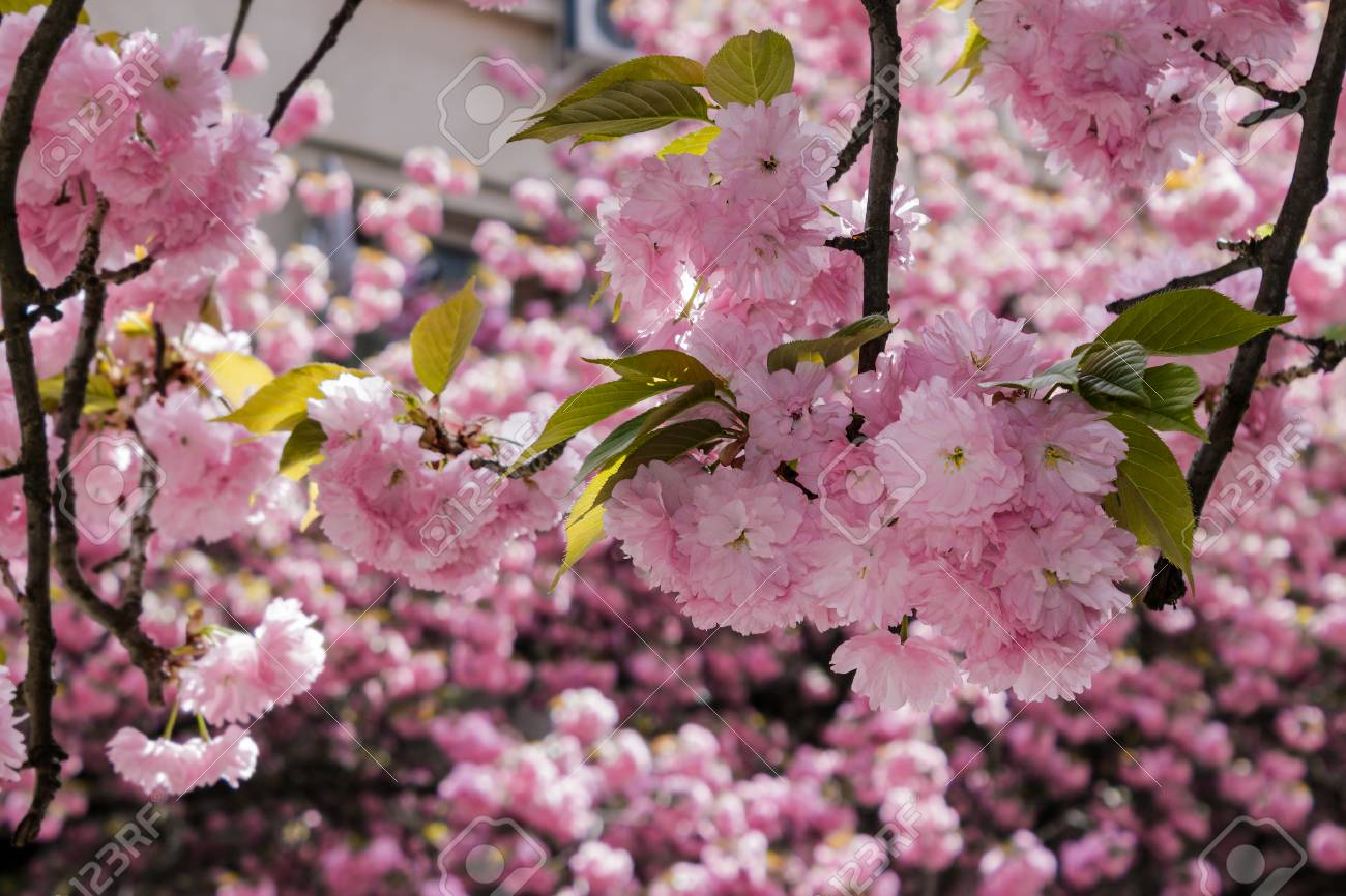 Delicate Pink Flowers Blossomed Japanese Cherry Trees On Blur