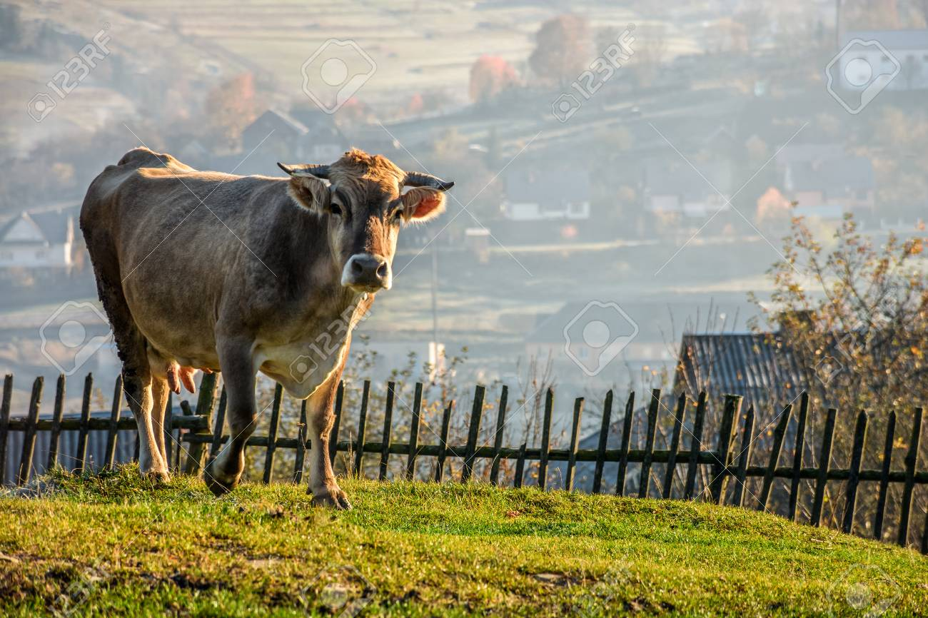 Carpathian rural area behind the village  Cow near the wooden