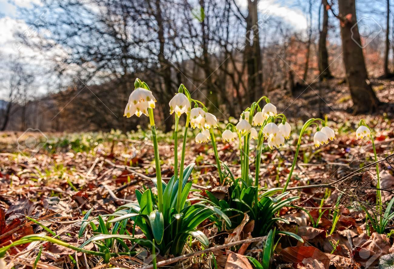 Erste Blumen Im Fruhling Fruhlingsschneeflocke Nannte Auch Leucojum