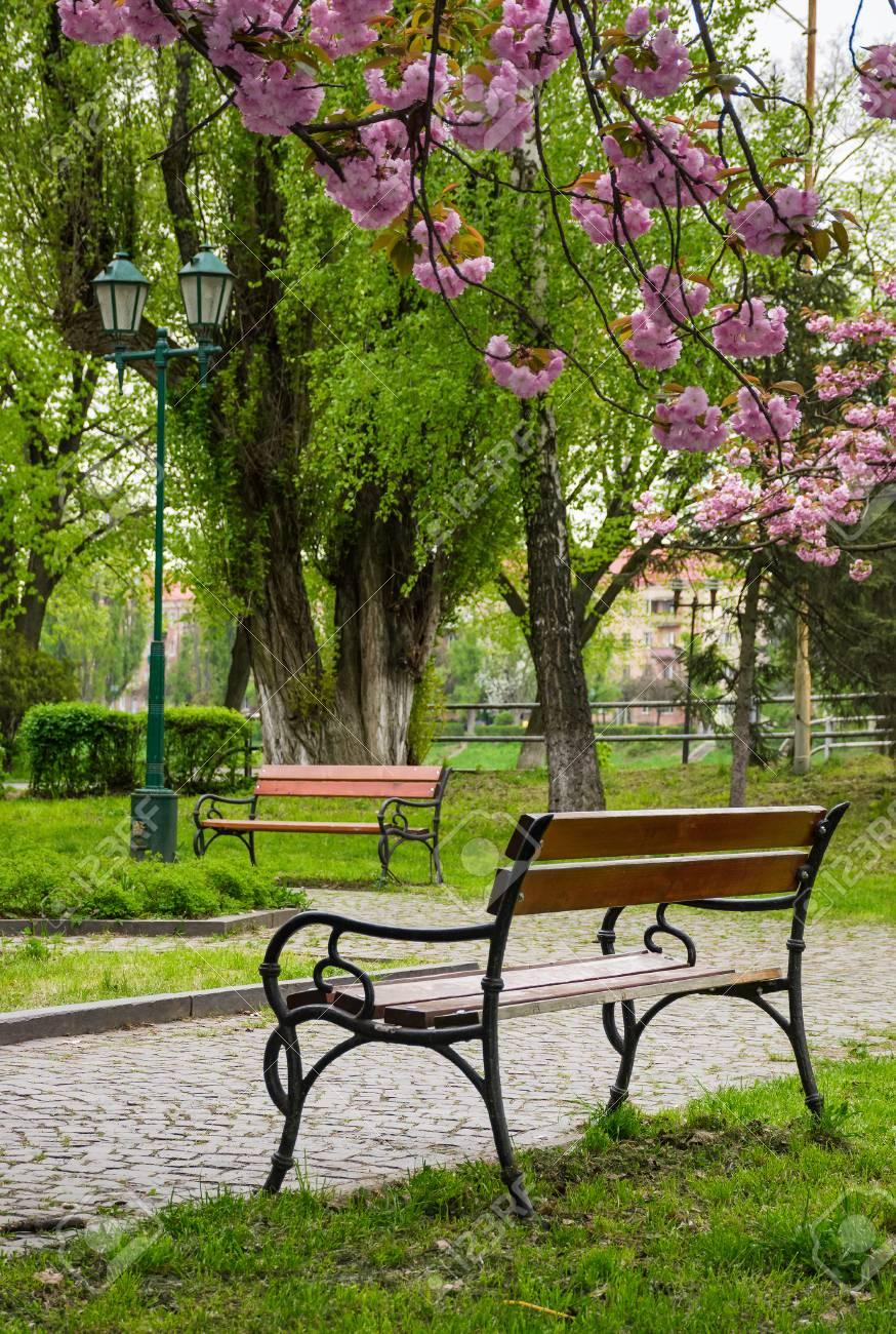 Holzbänke Unter Sakura-Bäumen. Schöne Kirschblüte Im Stadtpark ...
