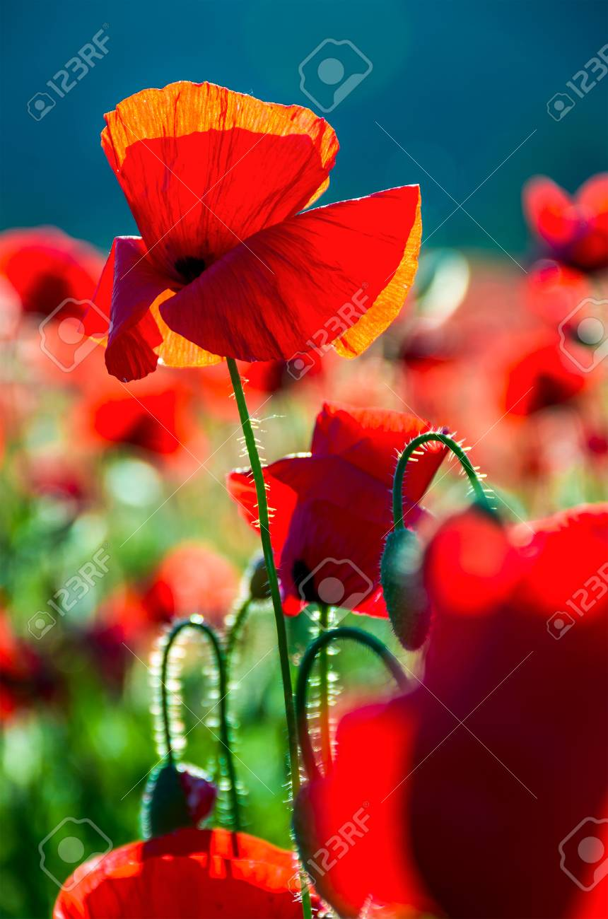 Poppy Flowers Close Up In The Field Beautiful Summer Background