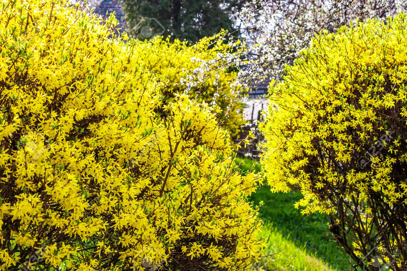 Yellow Flowers Of Forsythia Shrub Lovely Nature Background In