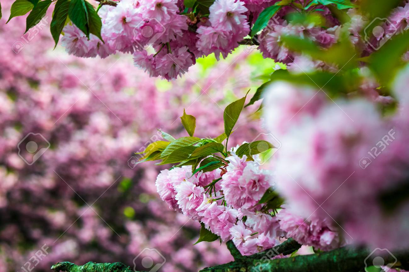 Delicate Pink Flowers Blossomed Japanese Cherry Trees On Blury