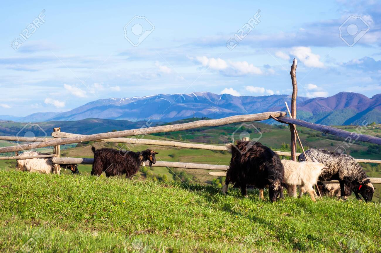 herd of goats on the alpine meadow in spring. beautiful rural scenery in evening light. mountain ridge in the distance. wonderful sunny weather with fluffy clouds on the blue sky - 139183620