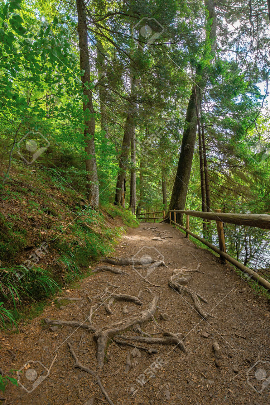 trail through forest in summertime. trees an fence along the path. roots stick from the ground. nature travel concept, explore the wilderness - 163039709