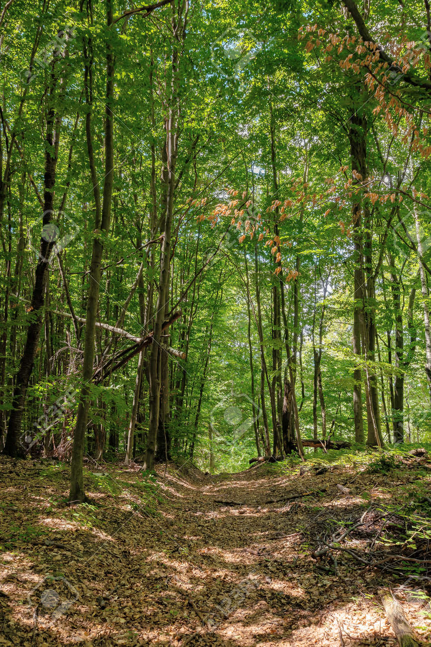 footpath through ancient beech forest in dappled light. beautiful nature of carpathians in summer - 170481917