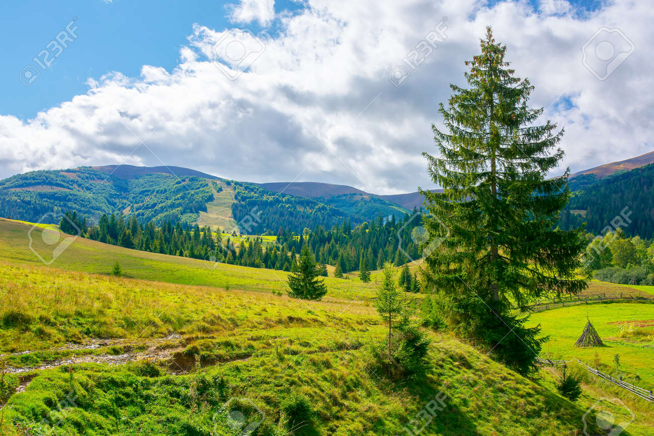 mountainous rural countryside on a sunny day. spruce trees on the grassy meadow. warm September weather with clouds on the sky - 170481863