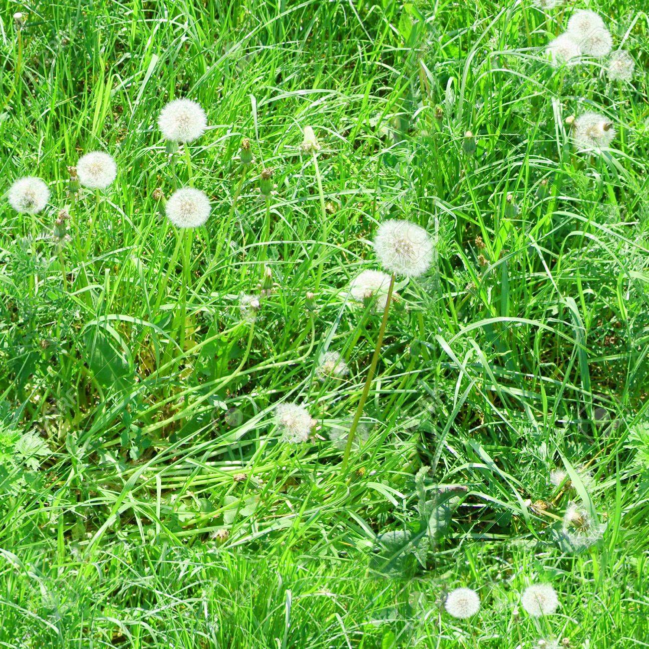 grass background tile. green grass with white dandelions seamless tile for a background wallpaper etc t