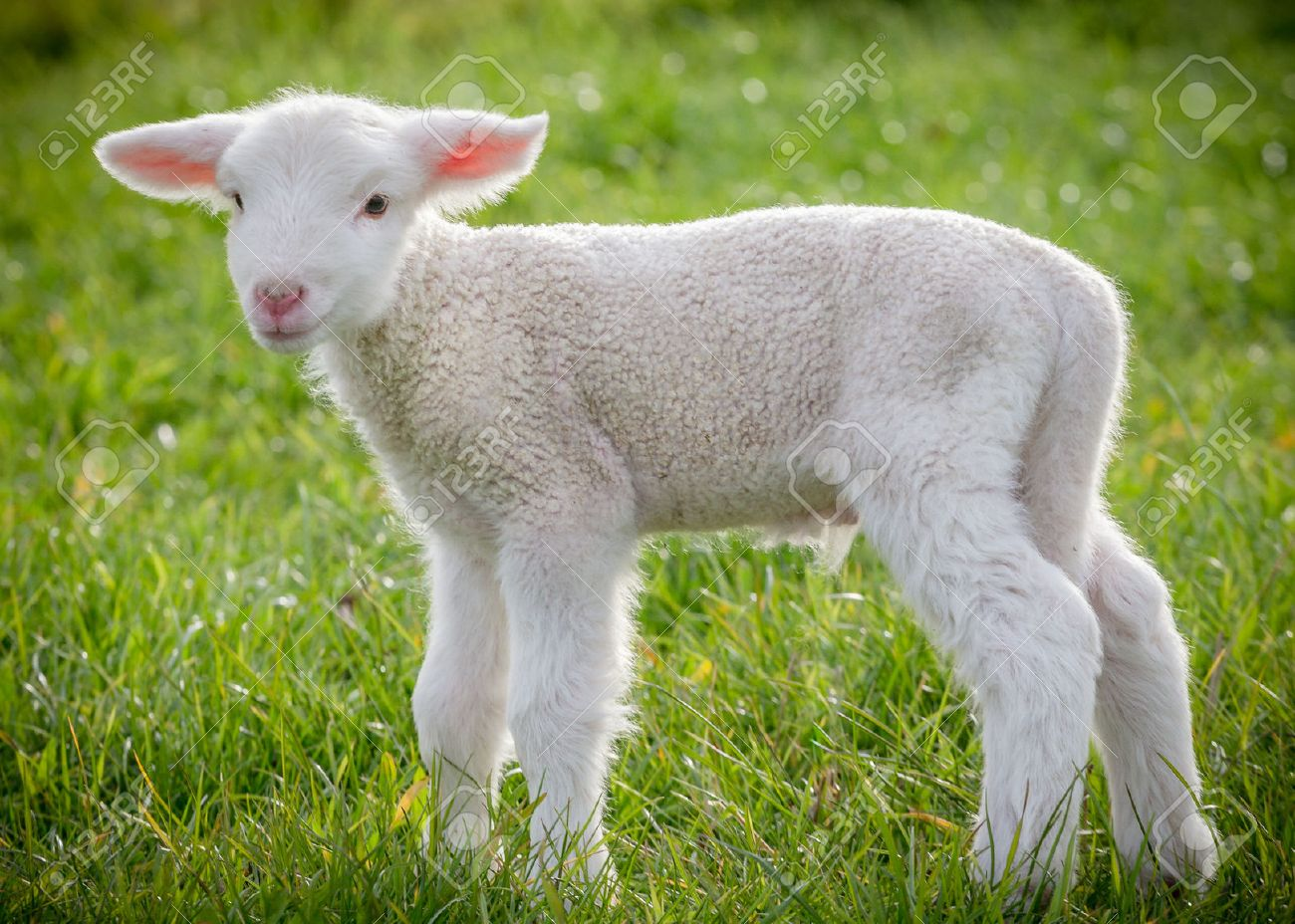 sheep stock photos u0026 pictures royalty free sheep images and stock
