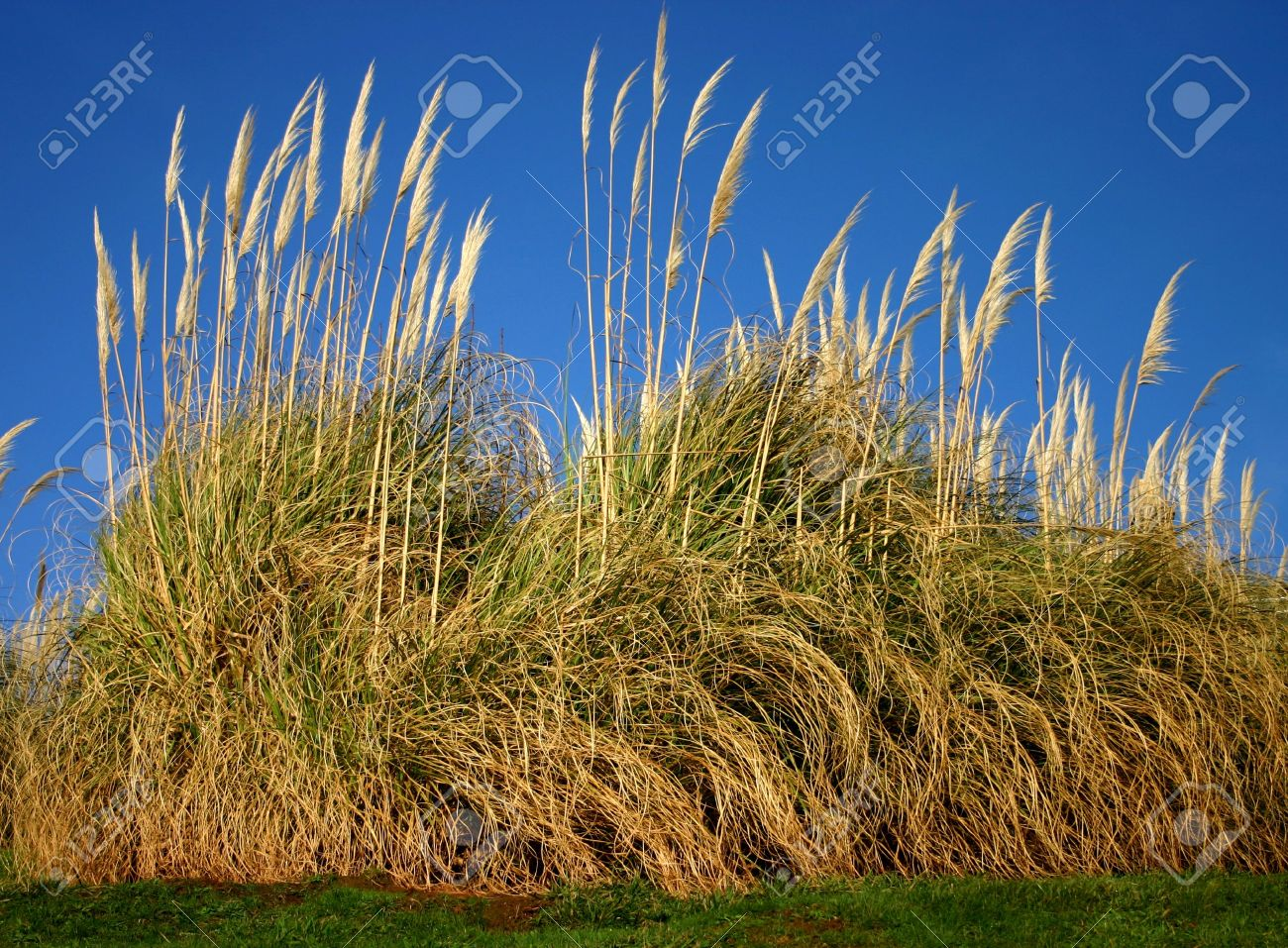 Tall Ornamental Grass Pampas grass a very tall ornamental grass gynerium argenteum pampas grass a very tall ornamental grass gynerium argenteum with a silvery workwithnaturefo