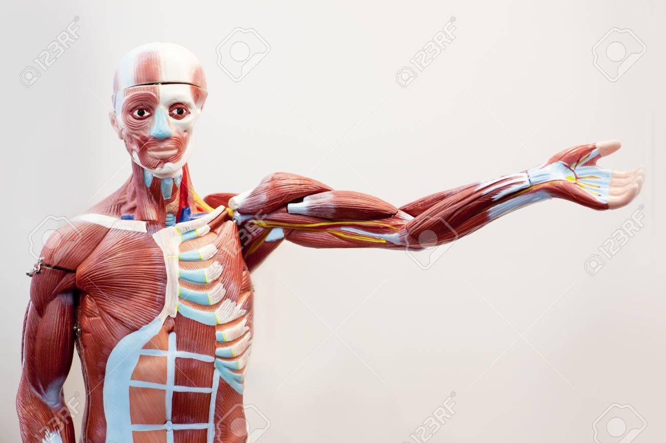 Mannequin Körper Muskelgewebe Lizenzfreie Fotos, Bilder Und Stock ...