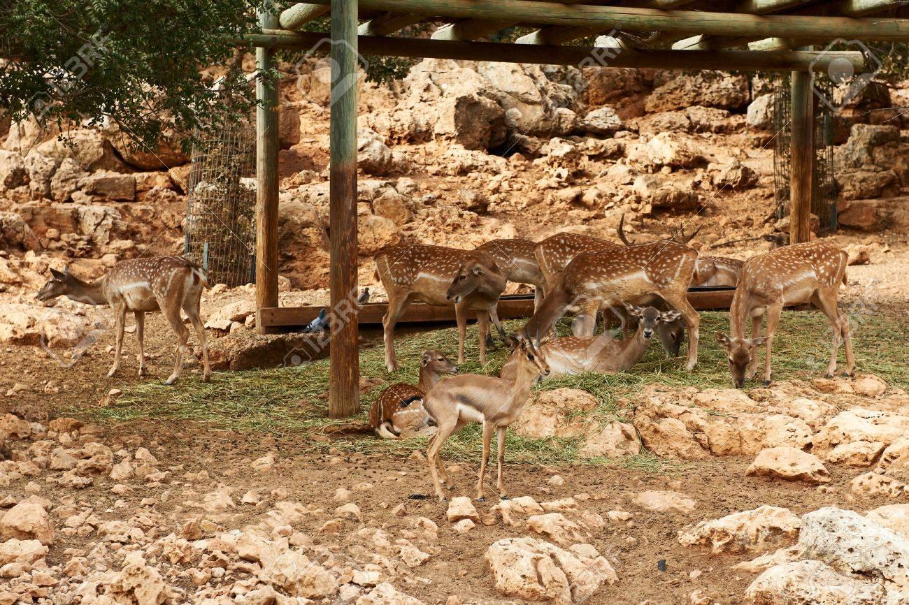 Deer graze in the Biblical Zoo in Jerusalem. Israel Stock Photo - 11691536