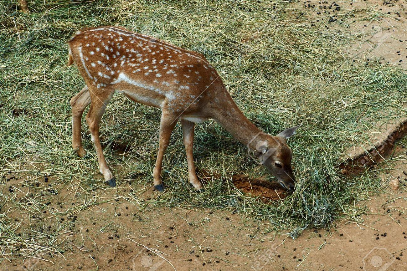 Deer graze in the Biblical Zoo in Jerusalem. Israel Stock Photo - 11996718