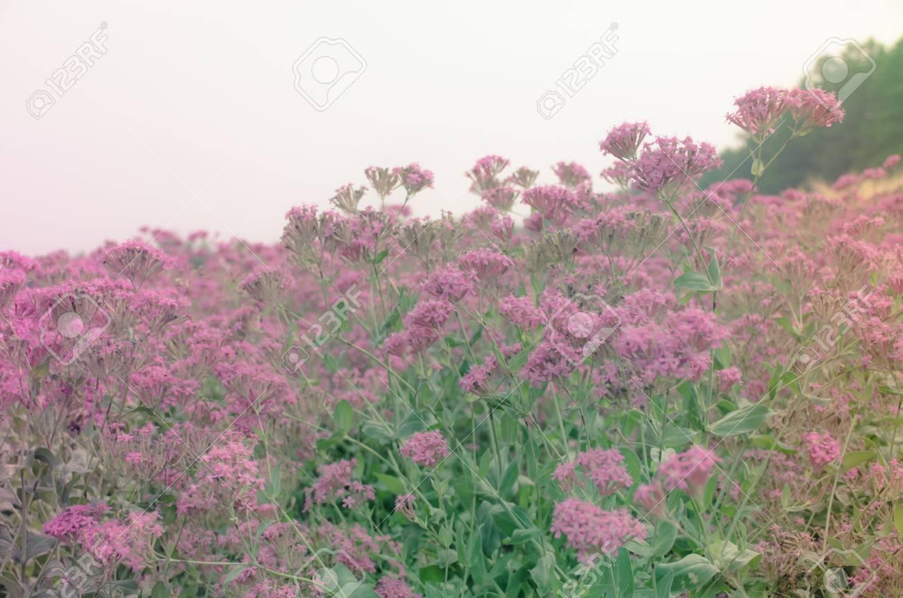Les Fleurs Silene De Floraison Dans Le Jardin à Hokkaido, Japand Sur ...