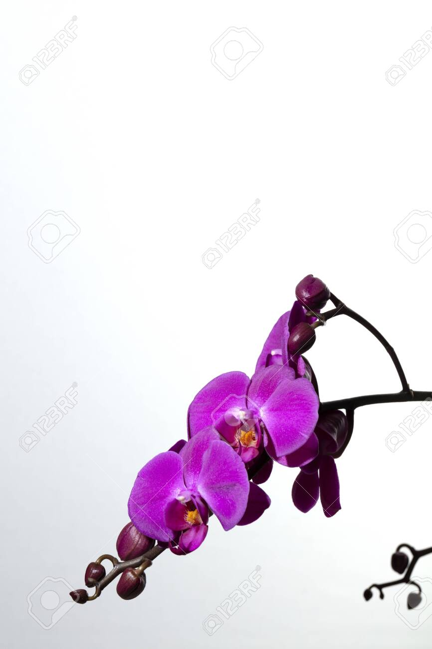 branch of purple orchids and buds on white background, free space for text - 123523690